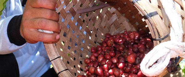 sumatra coffee farmer