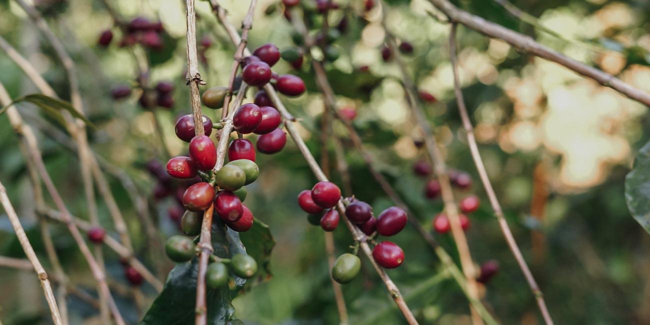 sumatra red coffee beans